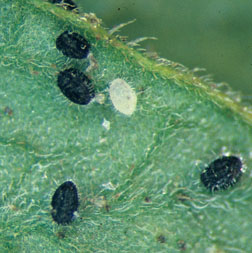 Greenhouse whitefly nymphs.  Black forms are parasitized.