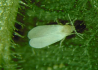Adult whitefly control something