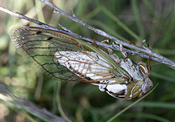 "Megatibicen dealbatus, a large ""dog-day"" type of cicada that is expanding populations along the Front Range."