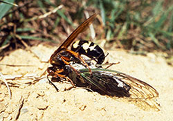 A cicada killer wasp with prey.