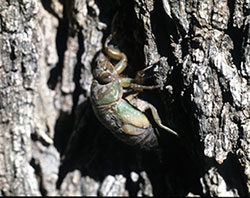 Cicada nymph recently emerged from the soil, preparing to molt to the adult form.