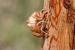 Eggs of a cicada inserted into a twig.