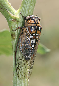 Megatibicen dorsatus, the giant grasslands cicada.