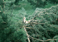 Wounds by Zimmerman pine moth structurally weaken trees and may contribute to limb breakage.