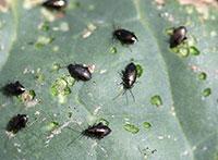 Flea Beetles 5 592 Extension