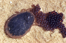 An adult soft tick, laying a mass of eggs.