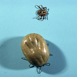 An adult female of the American dog tick before and after a blood meal.