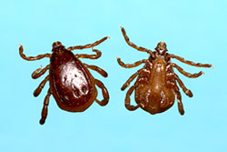 Top and bottom view of a male brown dog tick.