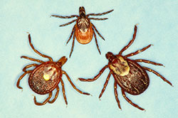 A comparison between blacklegged tick (top), lone star tick (bottom left) and the American dog tick.