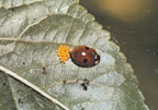 Twospotted lady beetle with newly laid egg mass