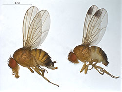 Comparison of a female (left) and male (right) spotted-wing drosophila.