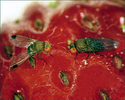 Adult male (left) and female (right) spotted-wing drosophila.