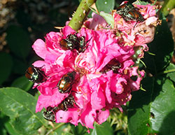 Rose blossoms are one of the most highly favored foods of Japanese beetles.