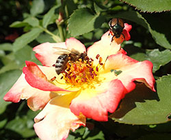 Bees and other pollinating insects may be visiting flowers on which Japanese beetles are feeding. In these situations there must be special care when using insecticides to avoid killing pollinators.