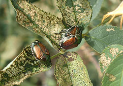 Japanese beetles that feed on leaves produce a characteristic skeletonizing pattern.