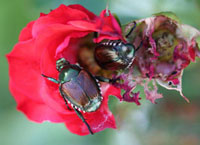 Figure 1. Rose blossoms are one of the most highly favored foods of Japanese beetles.