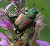 Figure 2. Japanese beetle adult. <em>Photograph<br /> courtesy of David Cappaert/University of Michigan and IPMImages.org</em>.
