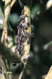 adults on seed pod