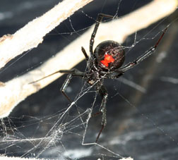 western widow female