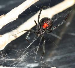 Western Widow Spider - 5.605 - ExtensionExtension