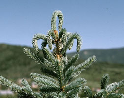 Terminal wilting associated with white pine weevil injury