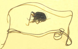 Horsehair worm with cricket
