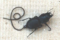 Horsehair worm and ground beetle