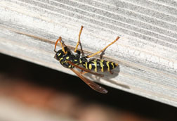 European paper wasp gnawing on weathered wood
