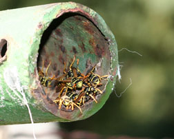 European paper wasps nesting in clothes line