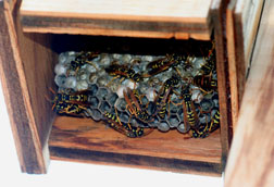 European paper wasps in nest box