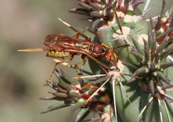 Polistes apachus, a native species of southeast Colorado