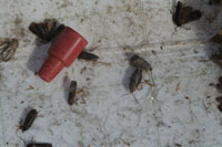 Figure 11b. Codling moth males trapped on the sticky surface of a pheromone trap. The red rubber septa contains the sex pheromone produced by the female.
