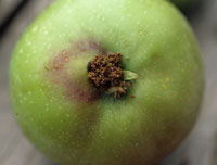 Figure 3. Excrement of a codling moth caterpillar expelled from point of entry near calyx end of an apple fruit.