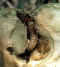 Figure 4. Late stage caterpillar of a codling moth feeding within an apple.