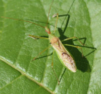 Figure 7. The assassin bug Zelus luridus is one of many insects that will feed on codling moth and other insects found in apple and pear trees.