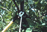 Figure 12. Twist-tie strips containing pheromone of codling moth being attached to branches for use in mating disruption within a commercial orchard. Large amounts of pheromone are emitted that can confuse male moths and disrupt mating. Photograph courtesy of Rick Zimmerman..