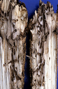 "Tunneling produced in the base of a recently transplanted ""Autumn Purple"" white ash by the lilac/ash borer."