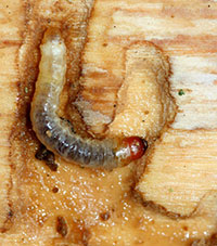 Larva of the lilac/ash borer.  Photograph courtesy of David Cappaert/Michigan State University and BugWood.org.