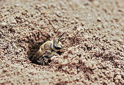 Bee emerging from soil