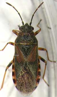Elm seed bug adult.