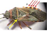 Adult elm seed bug with alternating dots on abdomen (a) and black triangle behind the head (b).