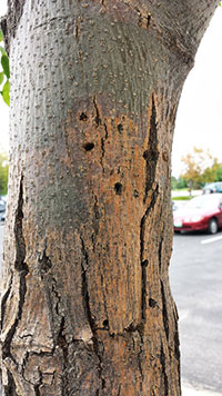 External appearance of trunk, with exit holes, typical of lilac/ash borer infestation.