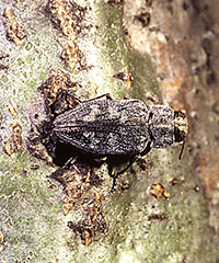 Adult of the flatheaded appletree borer.