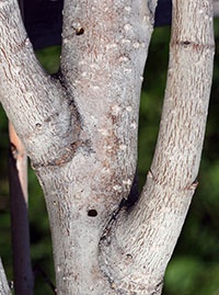 D-shaped exit hole produced by flatheaded appletree borer.