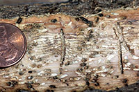 Tunneling produced by ash bark beetles in an ash branch.
