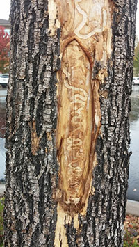 Old injury produced by emerald ash borer.