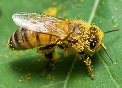 Pollen grains on the hairs of the honey bee