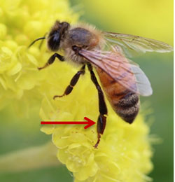 Pollen basket (corbicular) on the hind leg of a honey bee.