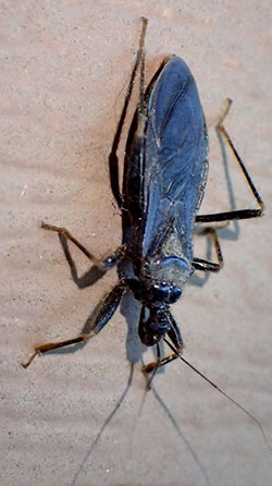 "Adult of the western conenose, riatoma protracta, the only ""kissing bug"" that is known to occur in Colorado."