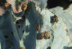 Adult harlequin bugs